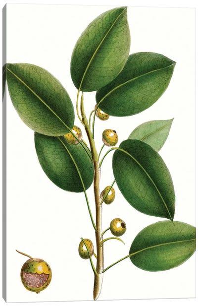 Cherry Fig Tree Canvas Art Print
