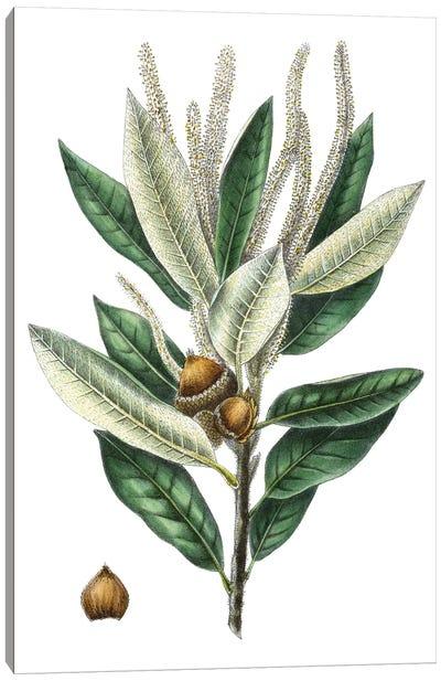 Dense Flowered Oak Canvas Art Print