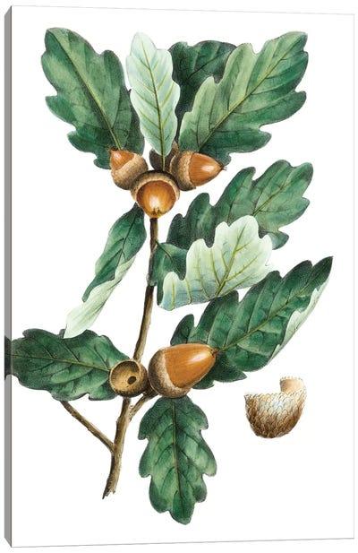 Douglas Oak Canvas Art Print