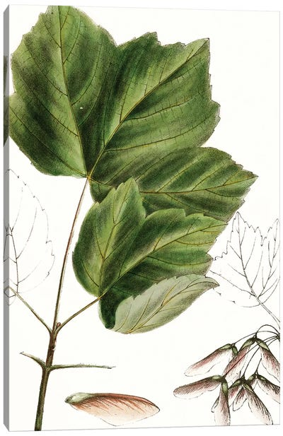 Drummond's Maple Canvas Art Print