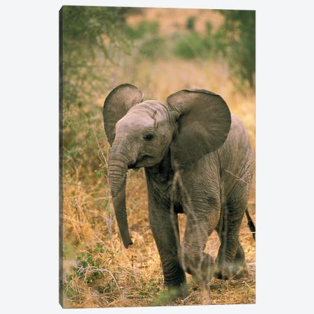 Loxodonta Africana, Africa. African Elephant. Canvas Print #TOF1} by Roy Toft Canvas Artwork