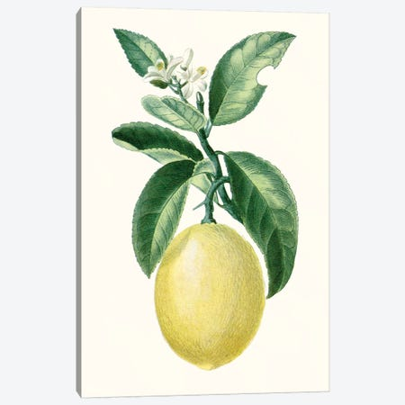 Fruit I Canvas Print #TPN11} by Turpin Canvas Art Print