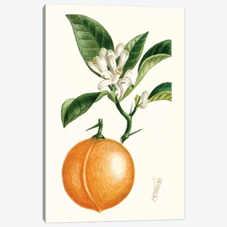 Fruit IV Canvas Print #TPN14} by Turpin Canvas Wall Art