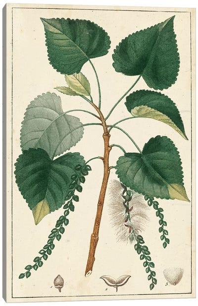 Poplar Tree  Canvas Art Print