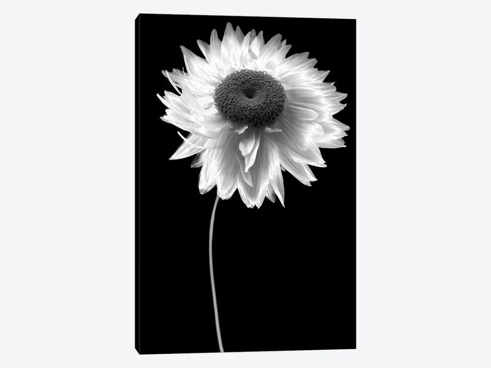Flower B&W I by Tom Quartermaine 1-piece Canvas Artwork