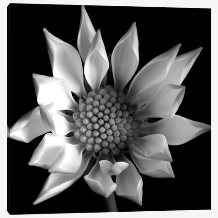Flower B&W II Canvas Print #TQU106} by Tom Quartermaine Canvas Art Print