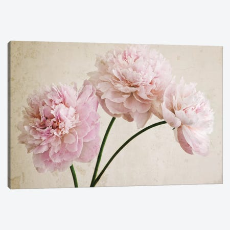 3 Pink Peonies On Light Brown Canvas Print #TQU10} by Tom Quartermaine Canvas Print