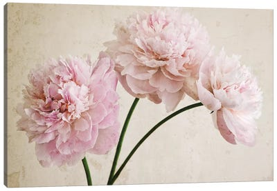 3 Pink Peonies On Light Brown Canvas Art Print