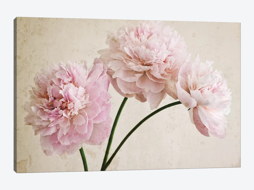 3 Pink Peonies On Light Brown by Tom Quartermaine 1-piece Canvas Artwork