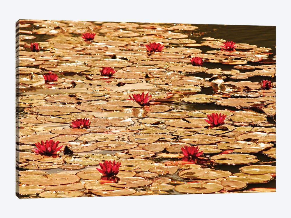 Golden Waterlily Pond by Tom Quartermaine 1-piece Canvas Art
