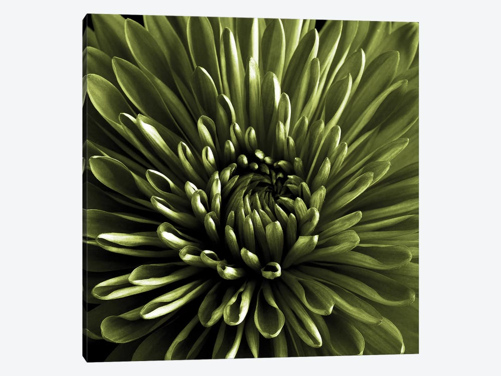 Green Chrysanthemum Close-Up by Tom Quartermaine 1-piece Canvas Print