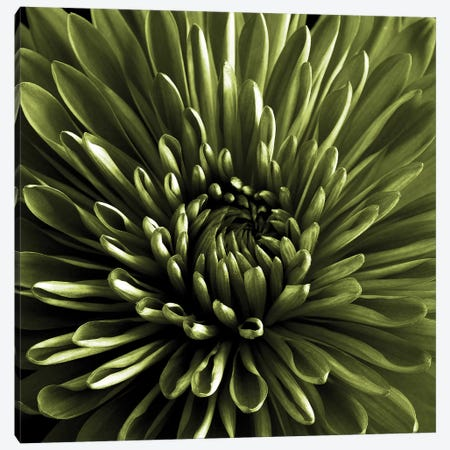 Green Chrysanthemum Close-Up 3-Piece Canvas #TQU117} by Tom Quartermaine Canvas Artwork