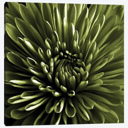 Green Chrysanthemum Close-Up Canvas Print #TQU117} by Tom Quartermaine Canvas Artwork
