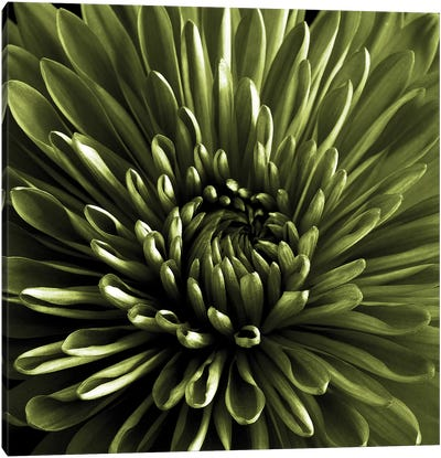 Green Chrysanthemum Close-Up Canvas Art Print