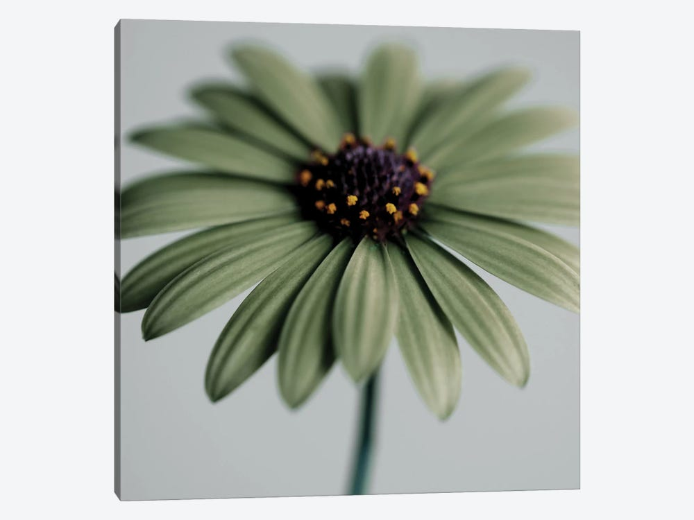 Green Osteospermum by Tom Quartermaine 1-piece Canvas Print