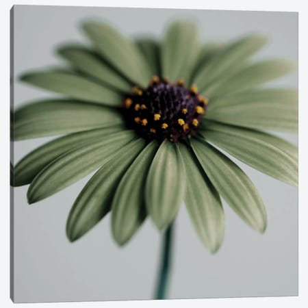 Green Osteospermum 3-Piece Canvas #TQU124} by Tom Quartermaine Art Print