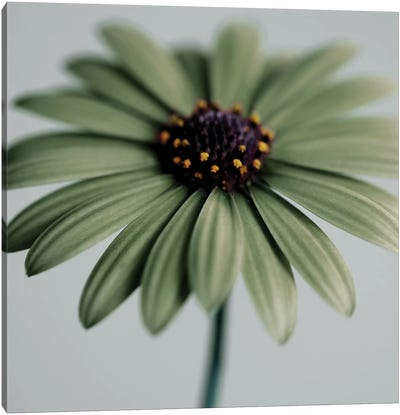 Green Osteospermum Canvas Art Print