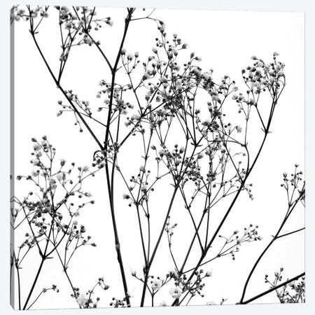Gypsophilia On White Canvas Print #TQU128} by Tom Quartermaine Canvas Art
