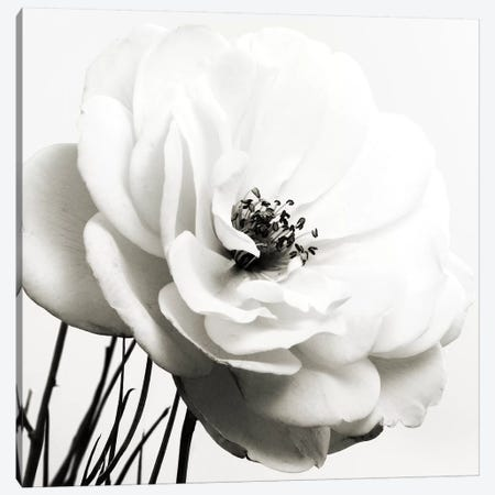 Iceberg Rose B&W 3-Piece Canvas #TQU138} by Tom Quartermaine Art Print