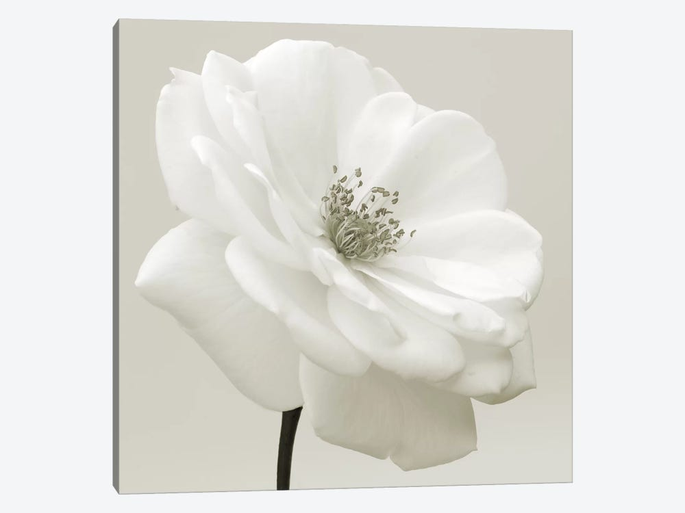 Iceberg Rose Neutral by Tom Quartermaine 1-piece Canvas Print