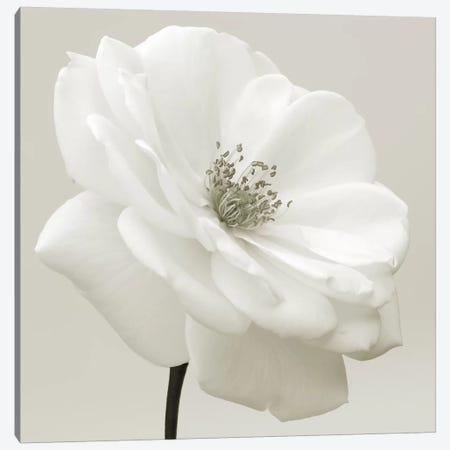 Iceberg Rose Neutral 3-Piece Canvas #TQU139} by Tom Quartermaine Canvas Print