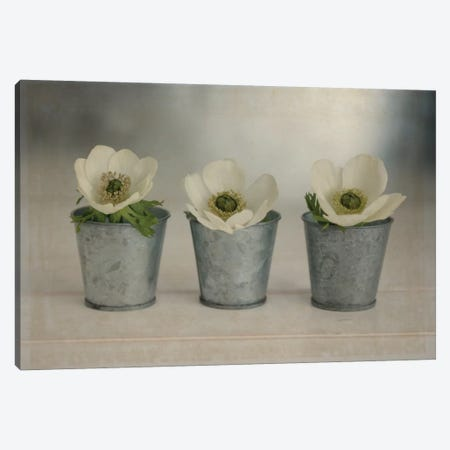 3 White Anemones In Metal Vases Canvas Print #TQU14} by Tom Quartermaine Canvas Wall Art