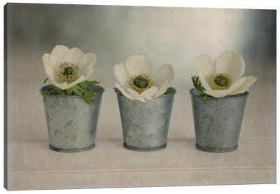 3 White Anemones In Metal Vases Canvas Art Print