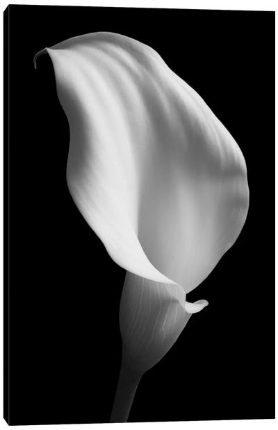 Lily On Black II Canvas Art Print
