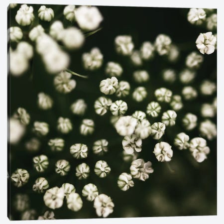 Little White Flowers Canvas Print #TQU158} by Tom Quartermaine Art Print