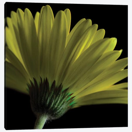 Mustard Gerbera On Black Canvas Print #TQU166} by Tom Quartermaine Art Print