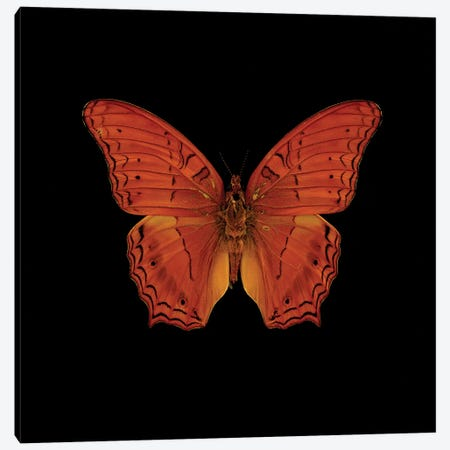 Orange Butterfly On Black Canvas Print #TQU172} by Tom Quartermaine Canvas Print