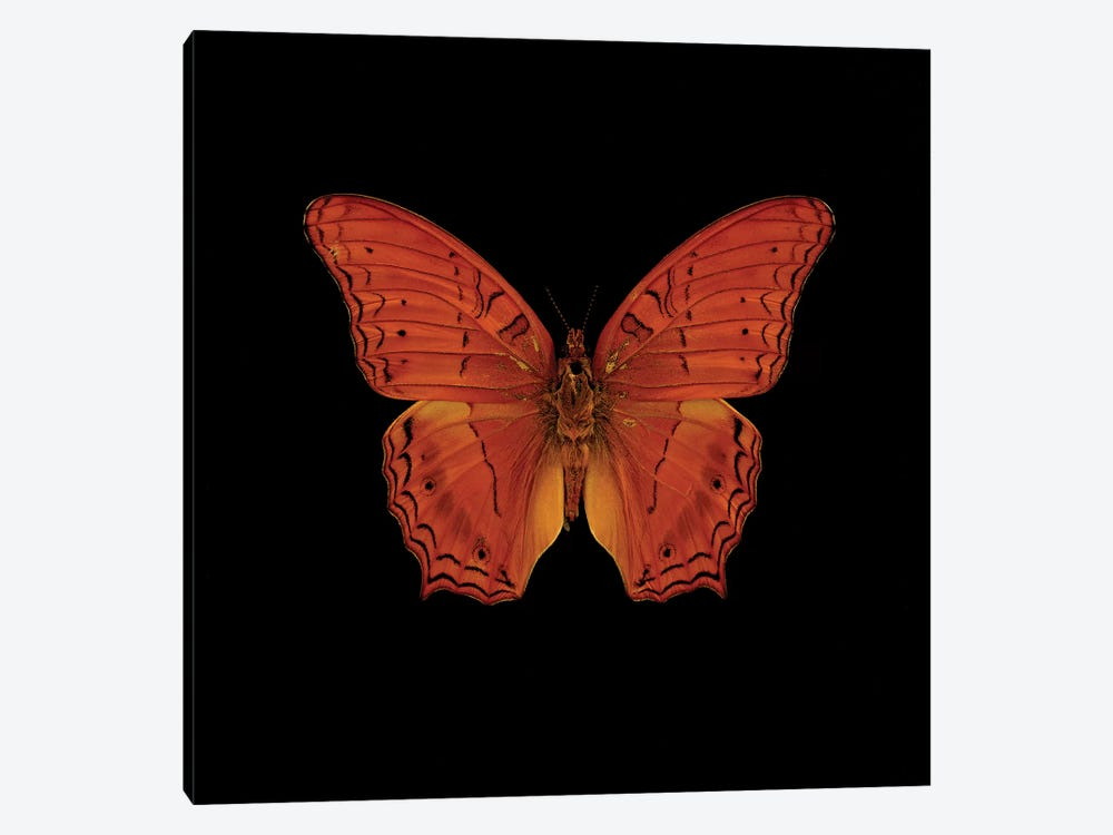 Orange Butterfly On Black by Tom Quartermaine 1-piece Canvas Art