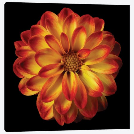 Orange Dahlia On Black I Canvas Print #TQU173} by Tom Quartermaine Art Print