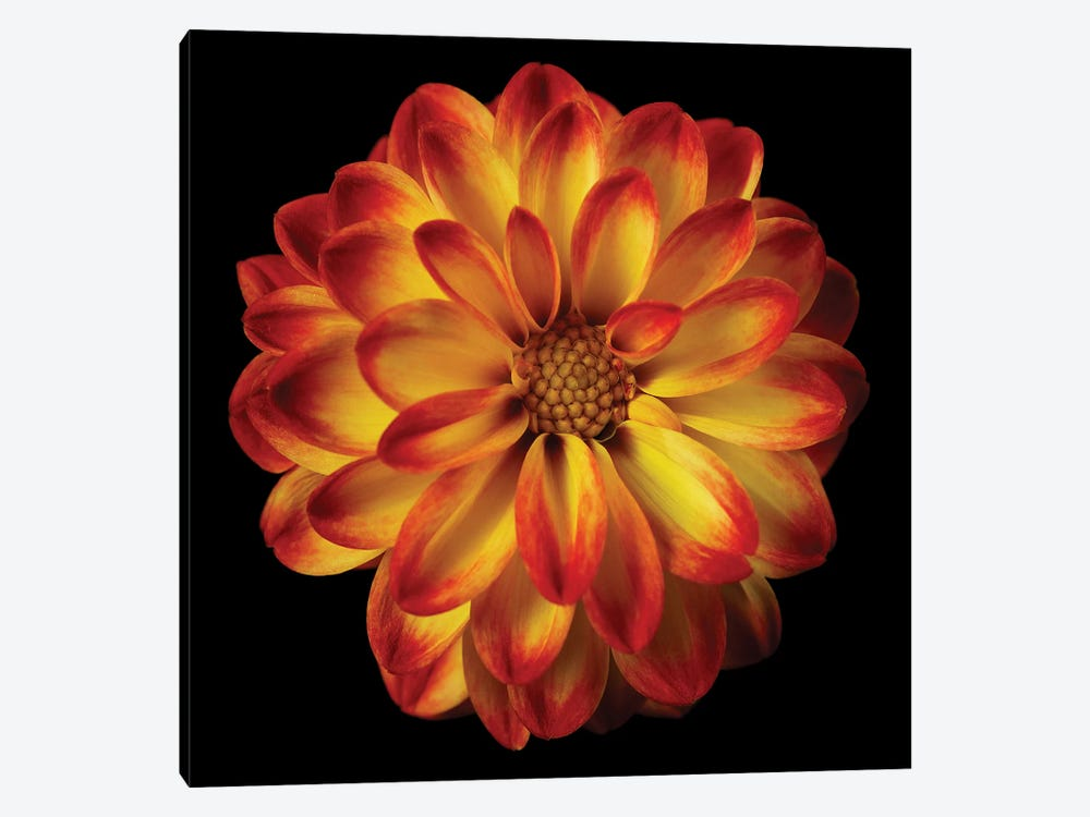 Orange Dahlia On Black I by Tom Quartermaine 1-piece Canvas Art Print