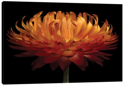 Orange Flower On Black I Canvas Art Print