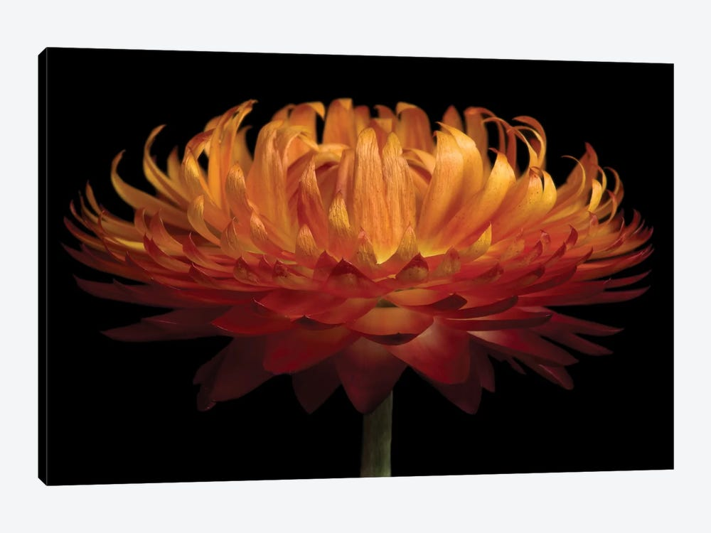 Orange Flower On Black I by Tom Quartermaine 1-piece Canvas Print