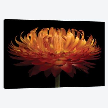 Orange Flower On Black I 3-Piece Canvas #TQU175} by Tom Quartermaine Canvas Art