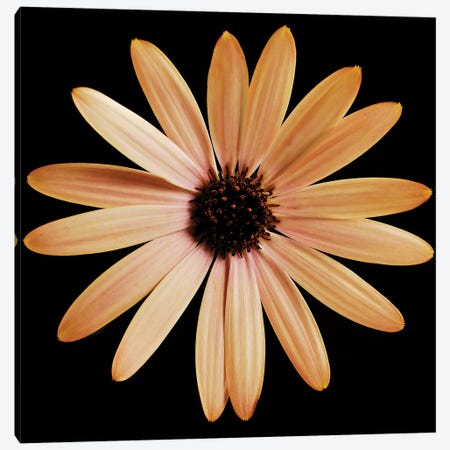 Osteospermum On Black I Canvas Print #TQU179} by Tom Quartermaine Canvas Print
