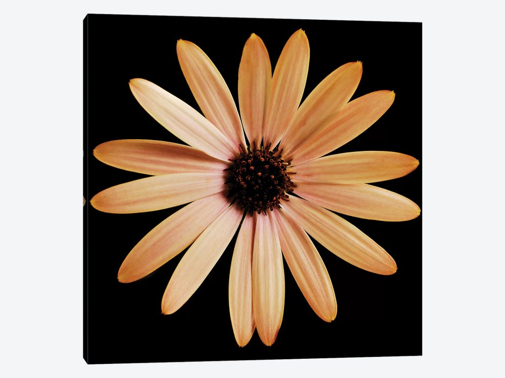 Osteospermum On Black I by Tom Quartermaine 1-piece Canvas Print