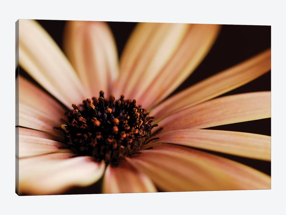 Osteospermum On Black II 1-piece Art Print