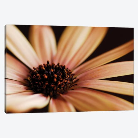 Osteospermum On Black II Canvas Print #TQU180} by Tom Quartermaine Canvas Artwork