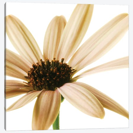 Osteospermum On White I Canvas Print #TQU181} by Tom Quartermaine Canvas Art