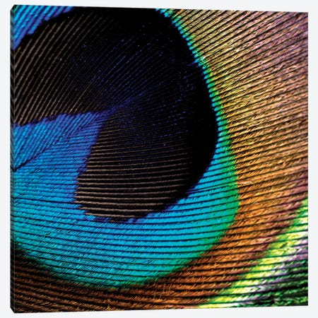 Peacock Feather II Canvas Print #TQU184} by Tom Quartermaine Canvas Print