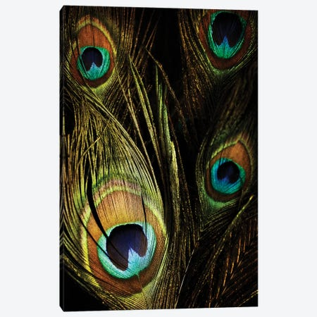 Peacock Feathers III Canvas Print #TQU186} by Tom Quartermaine Canvas Art Print