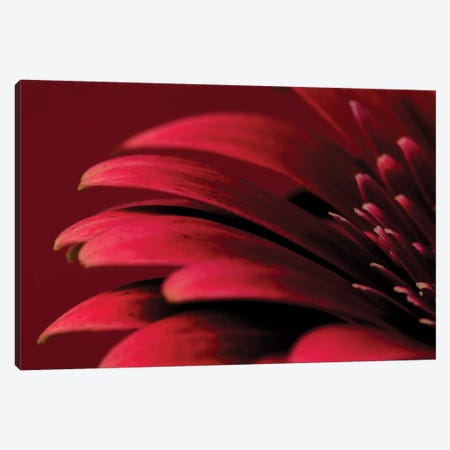 Petals Of A Red Gerbera Canvas Print #TQU188} by Tom Quartermaine Canvas Wall Art