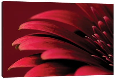 Petals Of A Red Gerbera Canvas Art Print