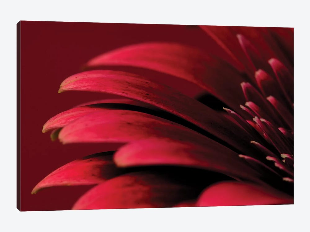 Petals Of A Red Gerbera by Tom Quartermaine 1-piece Canvas Print