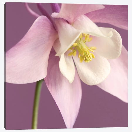 Pink Aquilegia Canvas Print #TQU193} by Tom Quartermaine Canvas Print