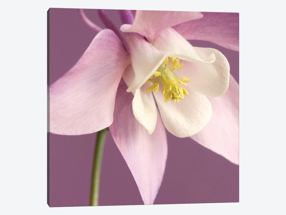 Pink Aquilegia by Tom Quartermaine 1-piece Canvas Art Print