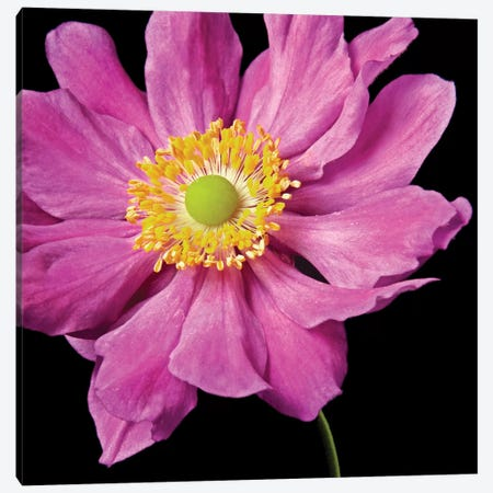 Pink Flower On Black I Canvas Print #TQU201} by Tom Quartermaine Canvas Print